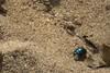 Blue Mint Leaf Beetle (Chrysolina coerulans) (Thanks for One Million plus views!!) Tags: kenfig kenfignaturereserve kenfignnr nature wildlife floraandfauna august countryfile canon cxanonsx60hs canonsx60hs flora fauna plants sx60hs