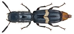Cylidrus megacephalus Spinola, 1844 (urjsa) Tags: insect kenya beetle insekt kenia käfer coleoptera kaefer cleridae taxonomy:order=coleoptera megacephalus coleopteraus geo:country=kenya taxonomy:family=cleridae cylidrus cylidrusmegacephalus taxonomy:binomial=cylidrusmegacephalus taxonomy:genus=cylidrus taxonomy:species=megacephalus