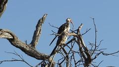 MVI_4449 (carolnyny) Tags: africa bird video botswana chobe hornbill