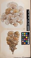 Peacocks Tail Seaweed (Padina pavonica) (MuseumWales) Tags: seaweed museum wales marine science algae botany biodiversity