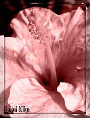 Un hibiscus en rosa. (ℝakel_ℰlke ﴾͡๏̯͡๏﴿) Tags: rachel rosa raquel murcia hibiscus thanksgivingday hibisco rosella obelisco elke papo rakel cayena tulipán clavel amapola espinardo gineceo sangredecristo cucarda peregrina carloti catto sanjoaquín rosachina herbáceas resucitado díadeaccióndegracias regióndemurcia rosadejamaica androceo rosaclaro marpacífico flordeavispa flordecayena cattor fonche rakelelke hibískos pabona jourdelactiondegrâce βίσκοσ cinesia rakelmurcia familiamalvaceae