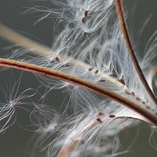 Epilobe à petites fleurs (Epilobium parviflorum)