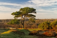 BRATLEY VIEW - NEW FOREST (mark_rutley) Tags: morning trees sky tree clouds dawn heather hampshire bracken newforest singletree goldenhour lonetree lonelytree goldenlight scotspine bratleyview thelonetree