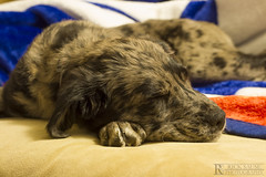 Passed-Out Pup (Rick Sause Photography) Tags: sleeping portrait dog pet black cute girl animal project out puppy happy photography grey photo mix soft nap shepherd sleep australian pass rick passed 365 pup passedout sause ricksausephotography