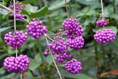 purpur - Explore #280 am 12.12.2014 (Sockenhummel) Tags: pink fuji berries explore finepix fujifilm dezember beeren strauch x20 purpur explored chinesischeschönfrucht fluidr todaysexplore fujix20