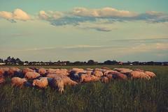 Sheep (Sareni) Tags: trees sky tree colors grass clouds vintage buildings colours view sheep serbia may selo vojvodina twop srbija nebo 2014 banat boe trava poljana pogled svetlost oblaci ovca ravnica ovce varos drvece livada pasnjak alibunar juznibanat sareni