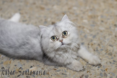 Atenta Mirada (Rubén Santamaría Fotografía) Tags: cat persian lucy gato gata persa gatapersa