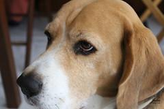 MIRADA (Julio Millán) Tags: beagle animales mascotas