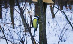 tit (alexander.kliuchnyk) Tags: trees winter cold tree bird weather animal yellow cool nice tit eat lovely icecold