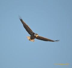 December 28, 2014 - A bald eagle soars over the South Platte in Thornton.  (Ed Dalton)