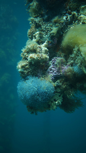 Broken pylons encrusted with ascidians (colonial sea squirts) and sponges