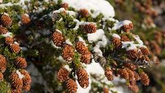 spruce cones (CB in AK) Tags: fall alaska landscape flora scenic