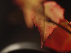 Weinlaub Wild Vine Leaves Leaf Wilder Wein Herbst Autumn (c) (hn.) Tags: autumn copyright fall leaves germany garden season de bayern deutschland bavaria leaf heiconeumeyer europa europe laub herbst gaissach jahreszeit oberbayern tlzerland upperbavaria eu vine vitaceae blatt bltter garten wein virginiacreeper parthenocissus oberland copyrighted weinblatt vineleaves vineleaf wilderwein wildvine weinlaub ostfeldstrasse laubblatt landkreisbadtlzwolfratshausen ostfeldstrase gaisach badtlzwolfratshausen weinrebengewchse