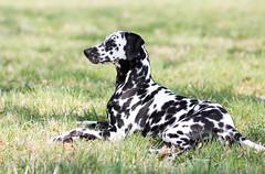Gespannt beobachtet (blumenbiene) Tags: dog playing game female fun hund dalmatian spielen spas dalmatiner hündin