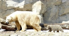 I follow you, Mom :-) (BrigitteE1) Tags: germany hope zoo polarbear future climatechange climate bremerhaven zooammeer eisbr ursusmaritimus specanimal internationalpolarbearday polarbearvaleska polarbearlale ifollowyoumom