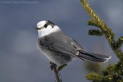Gray Jay (Lightskipper) Tags: winter sun snow bird beautiful hiking newengland newhampshire whitemountains explore grayjay corvidae perisoreuscanadensis canon400mmf56 mtpierce canon7d