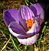 Krokus (fleckchen) Tags: natur garten krokus frühlingsblumen krokusse frühjahr frühjahrsblüher frühlingsblüher krokusblüte blütenträume frhling frühjahrsblumen krokusblüten