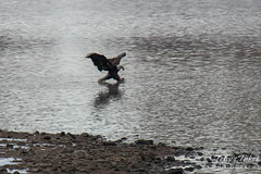 7 of 14 - Bald Eagle Fishing Sequence