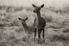 Deer at Richmond Park, London 2014 (Fabio Tedde, Pianist/Composer) Tags: nature animals photography documentary deer reddeer richmondpark fabiotedde london2014