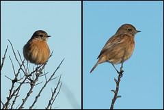 Stonechat (Female) (*KarenT*) Tags: bird unknown warbler spurnpoint
