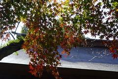 金崎宮 かねがさきぐう (ddsnet) Tags: 金崎宮 福井県 ふくいけん 敦賀市 つるがし sony cybershot rx10 日本 日本国 にほんこく japan nippon nihon 旅行 travel 自助旅行 backpackers かねがさきぐう 紅葉 autumnal 植物 plant autumnleaves 秋葉 こうよう もみじ