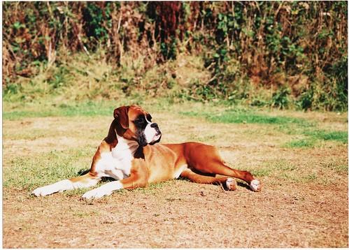 Micha the Boxer Dog