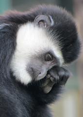 Eastern Black & White Colobus Monkey - Howlett's Zoo (1) (Padski1945) Tags: ngc primate howlettszoo coth supershot animalsworld specanimal goldwildlife easternblackwhitecolobusmonkey colorsoftheheart alittlebeauty platinumwildlife coth5 naturescarousel sunrays5