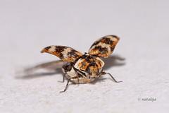 Sobni hrošček tik pred vzletom (natalija2006) Tags: carpet beetle varied coleoptera dermestidae anthrenus verbasci hrošč hrošček sobni slaninarji