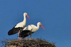 Cigognes blanches (la chouanne) Tags: les oiseaux blanches vende cigognes ornithologie conches lachouanne