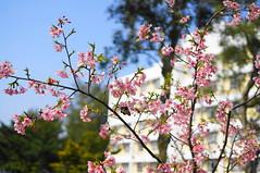 (bmic26) Tags: new college hall cu asia university sony chinese hong kong cuhk  the cerasus chih nex 2015  hsing   zakura  5r lannesiana    sel35f18