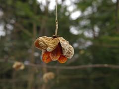 Euonymus europaeus (aniko e) Tags: winter plant fruit germany bavaria diversity euonymus shrub botany blomberg spindle badtölz euonymuseuropaeus europeanspindle spindelstrauch commonspindle kecskerágó pfaffenhüttchen csíkoskecskerágó közönségeskecskerágó gewöhnlichesprindelstrauch