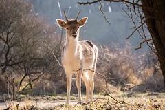 In the winter sun (Ralph Rozema) Tags: netherlands dunes deer holanda amsterdamsewaterleidingduinen waterleidingduinen ralphrozemaphotography