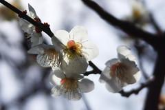 Plums   梅 (TMishina) Tags: yokohama kanagawa 横浜 神奈川 sakaeku 栄区