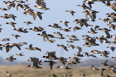 Scattered ducks (Steve Balcombe) Tags: birds inflight teal ducks somerset levels wigeon pintail greylakerspb