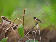 R7083487 (cybercynic) Tags: birds longvalley 塱原 黑喉石䳭 西伯利亞石䳭 siberianstonechat saxicolamaurus