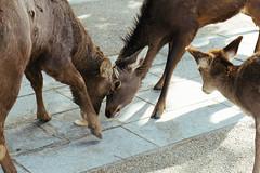 The battle of deer cookie (svensin) Tags: japan sony deer nara a6000 1670mm variotessarte41670 1670za ilce6000
