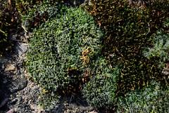 Moos im Wald (archegonus) Tags: pflanzen vegetation grn olivgrn hellgrn rotgrn gelbgrn moosgrn blaugrn grasgrn dunkelgrn blassgrn flaschengrn grnlich grnpflanzen graugrn sattesgrn farbederhoffnung braungrn dunklesgrn leuchtendesgrn ppigesgrn krftigesgrn wucherndesgrn