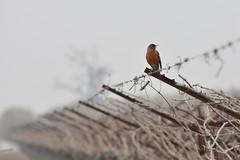 lonely robin (HockeyholicAZ) Tags: california robin fog spring solitude alone blossoms foggy calm lonely uva grape raisin americanrobin grapevine turdusmigratorius fresnocounty blossomtrail