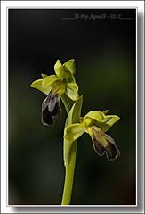 Ophrys fusca lupercalis (Pep Aguad) Tags: macro nature nikon natura catalonia orquidea catalunya catalua tarragona ophrys orqudea macrofotografia orqudia nikkor60mmf28micro orquidceas ophrysfusca nikond300 lupercalis ophryslupercalis macrodeorqudea orqudiasilvestre orqudiaabellerafoscaophrysfusca pepaguad ophrysfuscalupercalis