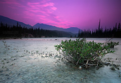 Athabasca River Bush at Sunset (See Best) Tags: pink camping summer camp plant canada mountains nature beautiful beauty landscape rockies photography nationalpark bush stream jasper peace purple sony calming conservation peaceful calm alberta rockymountains idyllic jaspernationalpark parkscanada canadianrockies wabasso calebest myjasper