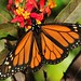 Male Monarch on Milkweed