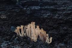 P5163745 Artomyces austropiperatus. (razor4343) Tags: artomycesaustropiperatus coralfungi tasmanianfungi auriscalpiaceae