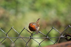 Take Off in 3,2,1! (kimmilouise) Tags: nature robin birds animals fly wildlife