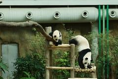 10-month-old Nuan Nuan and mother Feng Yi aka Liang Liang 2016-06-17 (kuromimi64) Tags: bear zoo panda malaysia nationalzoo kualalumpur giantpanda   zoonegara     fengyi   liangliang nuannuan selangordarulehsan  zoonegaramalaysia