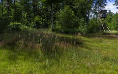 Meadow straws in sunlight (KF-Photo (off)) Tags: wiese teich wald 1610 hochsitz grser weiher schnbuch halme waldrand lichtung jgersitz schachtelhalme