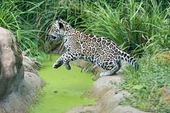 2016-05-27-0129 (bzd1) Tags: animals cats jaguar roofdieren animal mammal carnivore felidae panthera pantheraonca nature zookrefeld