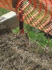 Golden-mantled Ground Squirrel (D. S. Haas) Tags: halas haas unitedstates usa utah saltlakecounty snowbird wasatchrange littlecottonwoodcanyon chordata sarcopterygii mammalia rodentia sciuridae callospermophiluslateralis spermophiluslateralis goldenmantledgroundsquirrel