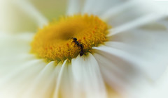 Takes Two to Tango (charhedman) Tags: two white flower macro centre ants daisy