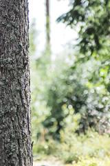 The Tall Tall Pine Tree From Not So Far Away (eriklvquist) Tags: tree pine forest vintage bokeh olympus tokina m42 manualfocus 135mm em1 tokyokoki135mm35teletokinapreset