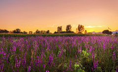 Field of Colors (Mat Viv) Tags: flowers sunset summer italy sun sunlight nature colors beautiful beauty field canon landscape outdoors eos rebel evening dusk naturallight wideangle tuscany sunsetlight twlight 14mm samyang 700d canon700d canoneos700d t5i samyanglens canont5i canoneost5i